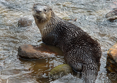 River Otter Cades Cove Great Smoky Mountains