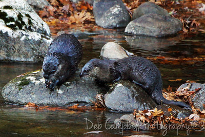 A couple of river otters along the Little River Great Smoky Mountains