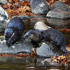A couple of river otters along the Little River<br /> Great Smoky Mountains