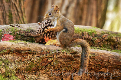Red Squirrel with a Pine Cone