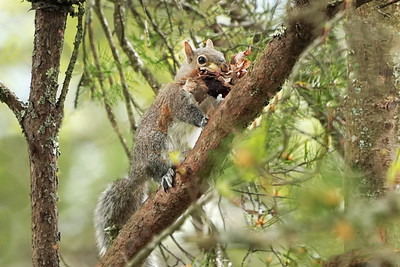 Squirrel with nesting material