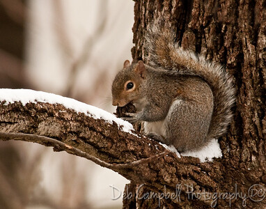 A squirrel and his nut in the snow.