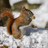 Red Squirrel (Boomer)
