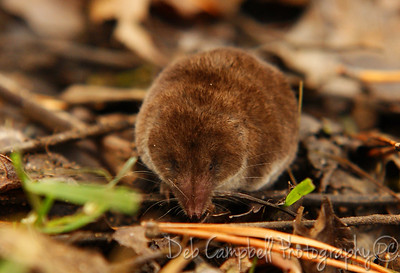 Shrew  Cades Cove Great Smoky Mountains