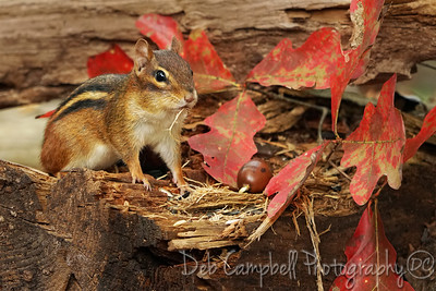 Chipmunk in Fall
