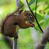 Red Squirrel (Tamiasciurus hudsonicus)<br /> Clingmans Dome<br /> Great Smoky Mountains National Park