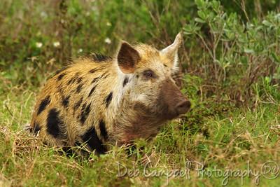 Wild Pig Bio-Lab Road Merritt Island Wildlife Refuge Titusville, Florida