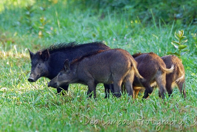 Wild Hog Mom with babes