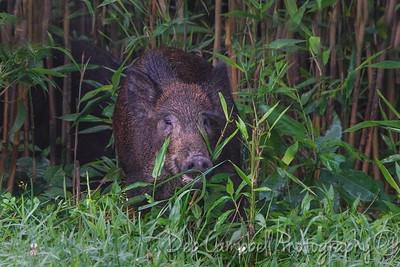 Wild Hog Piglet
