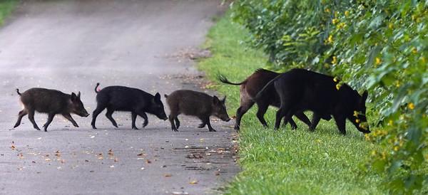 Wild Hog Family