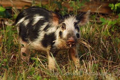 Wild Piglet Bio-Lab Road Merritt Island Wildlife Refuge Titusville, Florida