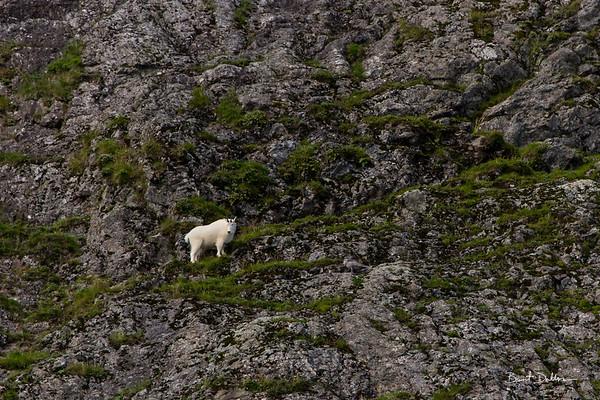 Cape Resurrection Goat