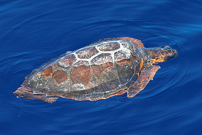 Turtle off the coast of Madeira