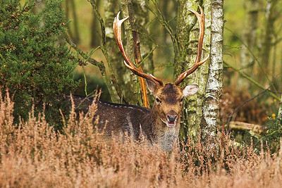 Fallow Deer buck, Cannock Chase