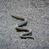 Garter Snake on Ice