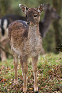 Fallow Deer, Cannock Chase