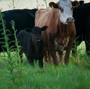 """Got Milk"" Bovine-style Dinner Island Ranch WMA Hendry County, Florida © 2010"