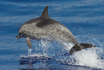 Spotted Dolphin off the coast of Madeira