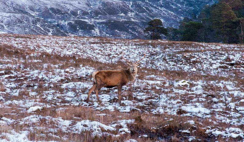 Scottish Mule Deer