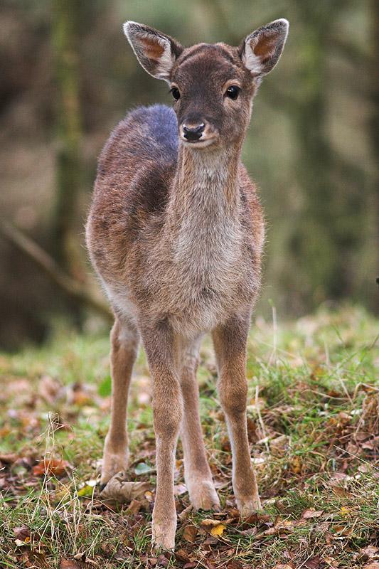 Fallow Deer, Cannock Chase