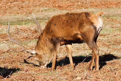 Red Deer Stag, Bradgate Park