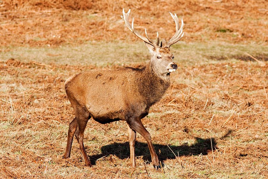 Red Deer Stag, Bradgate Park