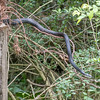 Black Rat Snake on the Move