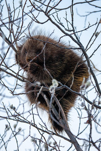 Porcupine in the Willows