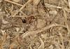 Cataglyphis rosenhaueri