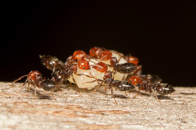 Obreras de Crematogaster scutellaris trasladando lo que parece es la larva de una Reina. La foto es originalmente en vertical y bajan de un tronco, pero esta versión se ha rotado y puesto en horizontal. Está hecha en un tronco seco vertical en Rincón de la Victoria (Málaga)