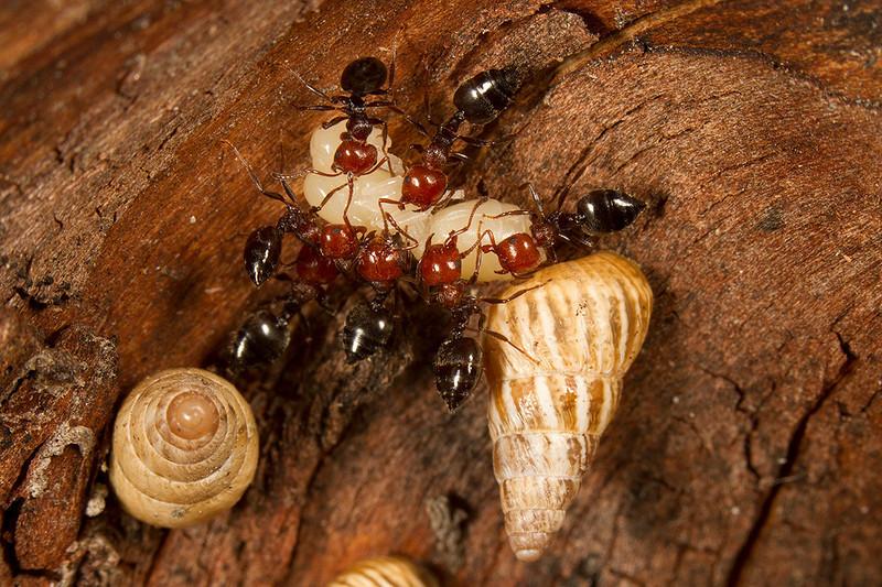 Crematogaster scutellaris carrying a larva