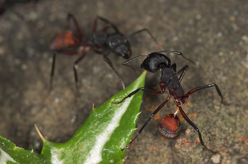 The Last Battle- A war scene of Camponotus cruentatus