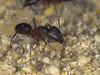 Camponotus barbaricus