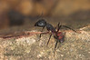 War scenes (Camponotus cruentatus) immobilized soldier