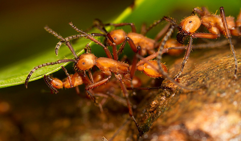 Building a path on the leaf. Army ants in the forests of the north.