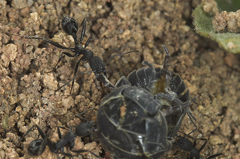 Aphaenogaster senilis