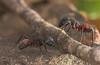 Camponotus cruentatus war scenes in Los Alcornocales Natural Park