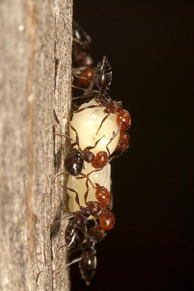 Traslado de la larva en vertical (el real, pues bajaban un tronco seco)