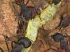 Camponotus cruentatus. Alcornocales Nature Park.