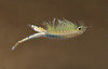 Chirocephalus diaphanus (female) swimming alive