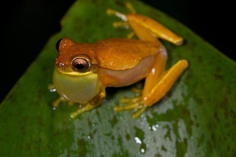 cf Dendropsophus ebraccatus