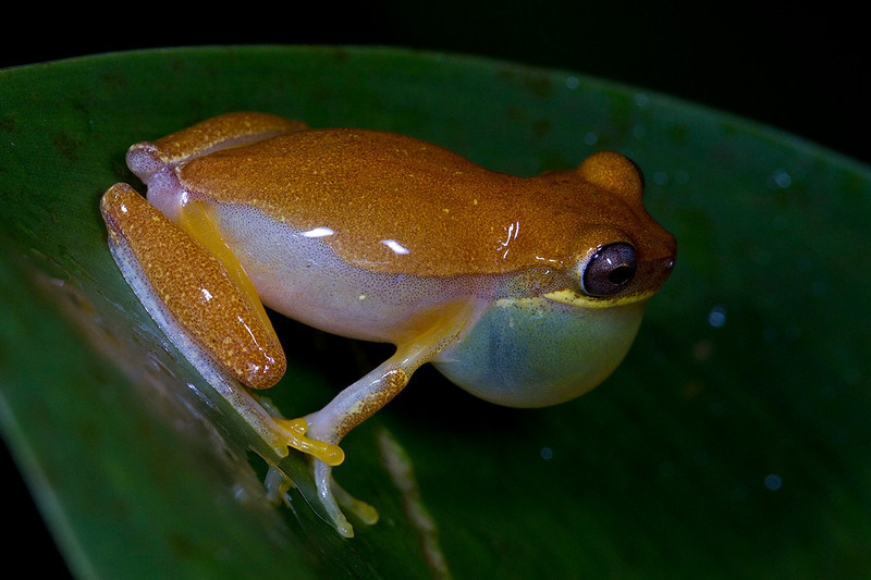 cf Dendropsophus ebraccatus (=Hyla ebraccata)