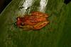 Dendropsophus
