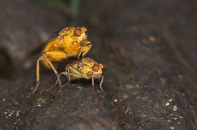 L'amour sur la merde (Scatophaga stercoraria)<br /> (Love on the Shit)