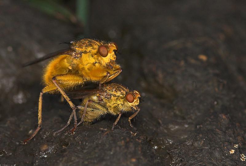L'amour sur la merde (Scatophaga stercoraria)