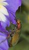 Lagorina sericea. Meloideo come flores