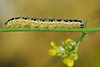 Pieris brassicae caterpillar