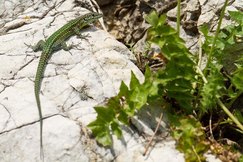 Andalusian lizard (Podarcis vaucheri)