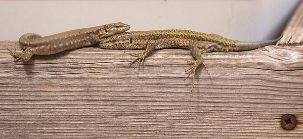 Podarcis vaucheri female/male