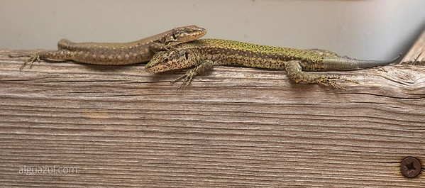 Andalusian lizard (male and female resting in love)